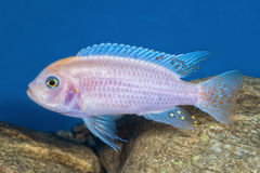 Portrait des poissons de cichlid et de x28 ; Zebra& x29 de Maylandia ; dans l'aquarium Photographie stock libre de droits