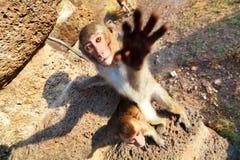 Portrait des Rhesusfaktor Macaquefallhammers Stockbild