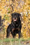 Portrait des Rottweiler Hundes Stockbild