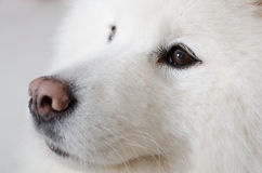 Portrait des Samoyedhundes Stockbilder