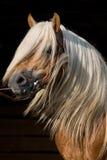 Portrait des schönen Pferds auf schwarzem Hintergrund Lizenzfreie Stockfotografie