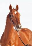 Portrait des schönen Pferds des Sauerampfers getrennt Stockfotografie