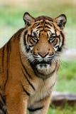 Portrait des schönen Sumatran Tigers lizenzfreie stockfotos