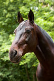 Portrait des Schacht-Pferds Stockbilder
