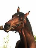 Portrait des Schachtpferds Stockfoto