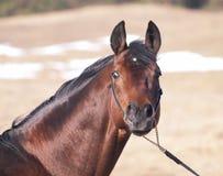 Portrait des Schachtpferds auf dem Gebiet Lizenzfreie Stockfotografie