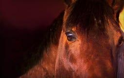 Portrait des Schachtpferds auf dunklem Hintergrund clouse-up Stockfoto
