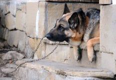 Portrait des Schäferhunds Stockbild