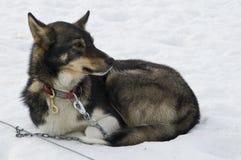 Portrait des Schlittenhundes Stockfoto