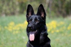 Portrait des schwarzen Hundes Stockfotos