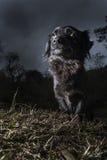 Portrait des schwarzen Hundes stockbilder