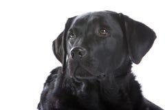 Portrait des schwarzen Labrador-Hundes Lizenzfreies Stockbild
