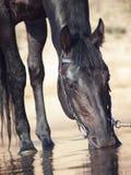 Portrait des schwarzen trinkenden Pferds im Wasser Stockbild