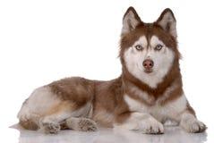 Portrait des sibirischen Schlittenhunds Lizenzfreies Stockfoto