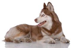 Portrait des sibirischen Schlittenhunds Lizenzfreies Stockbild