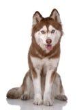 Portrait des sibirischen Schlittenhunds Lizenzfreie Stockbilder