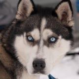 Portrait des sibirischen Schlittenhunds stockfotografie