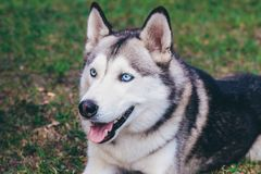 Portrait des sibirischen Schlittenhunds stockfotos