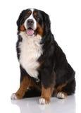 Portrait des Sitzens von Bern Sennenhund Lizenzfreies Stockfoto