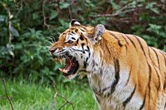 Portrait des Sumatran Tigers brüllend Lizenzfreie Stockfotos