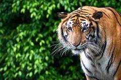 Portrait des Tigers Lizenzfreie Stockfotografie
