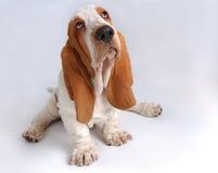 Portrait des traurigen Dachshund-haund Welpen Stockfotos