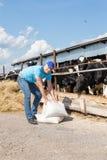 Portrait des vaches de alimentation à technicien vétérinaire à la ferme Photographie stock