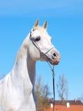 Portrait des weißen arabischen Pferds Stockfotos
