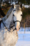 Portrait des weißen Dressagepferds Stockfotos