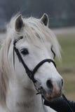 Portrait des weißen Pferds Stockfotografie
