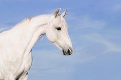 Portrait des weißen Pferds auf dem Himmelhintergrund Stockfotografie