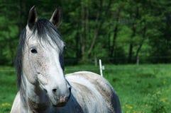 Portrait des weißen Pferds mit Wiese Stockfoto