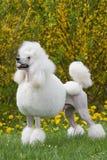 Portrait des weißen Pudelhundes der Königgröße Stockfoto