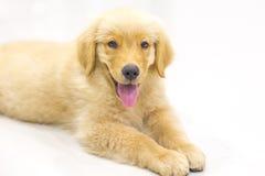 Portrait des Welpen des goldenen Apportierhunds Lizenzfreie Stockbilder