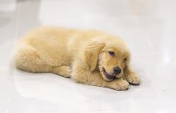Portrait des Welpen des goldenen Apportierhunds Lizenzfreie Stockfotos