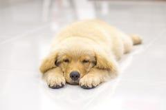 Portrait des Welpen des goldenen Apportierhunds Stockbild