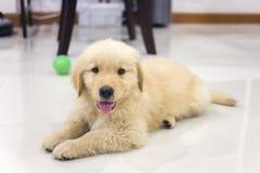 Portrait des Welpen des goldenen Apportierhunds Stockfoto