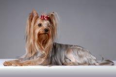 Portrait des Yorkshire-Terriers Lizenzfreies Stockfoto