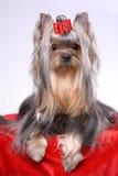 Portrait des Yorkshire-Terriers Stockfoto