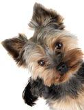 Portrait des Yorkshire-Terriers Lizenzfreie Stockfotografie
