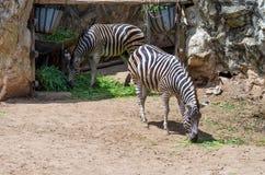 Portrait des zèbres dans le zoo Photos libres de droits