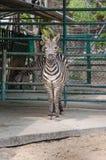 Portrait des zèbres dans le zoo Photo libre de droits