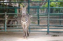 Portrait des zèbres dans le zoo Images libres de droits