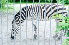Portrait des zèbres dans le zoo Image libre de droits