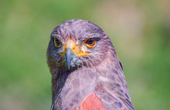 Portrait of a desert buzzard Royalty Free Stock Photo