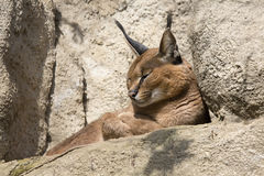 Portrait desert cats Caracal, Caracal caracal Stock Photo