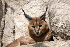 Portrait desert cats Caracal, Caracal caracal Stock Images