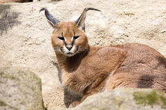 Portrait desert cats Caracal, Caracal caracal Stock Photography