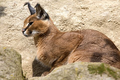 Portrait desert cats Caracal, Caracal caracal Royalty Free Stock Photo