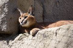 Portrait desert cats Caracal, Caracal caracal Royalty Free Stock Photography